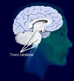 tronc cerebral